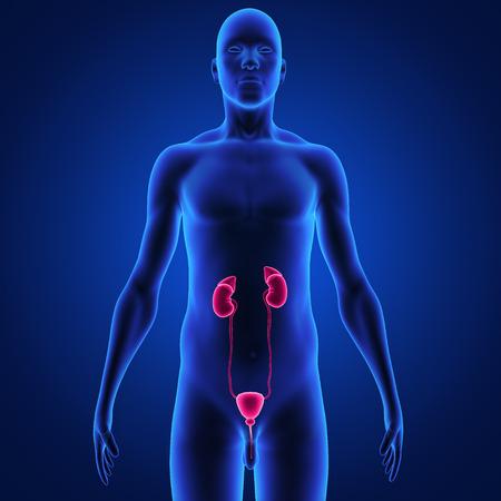 urology: Kidneys Stock Photo