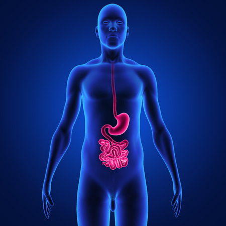 jejunum: digestive system