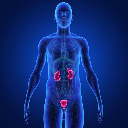 suprarrenales: riñones