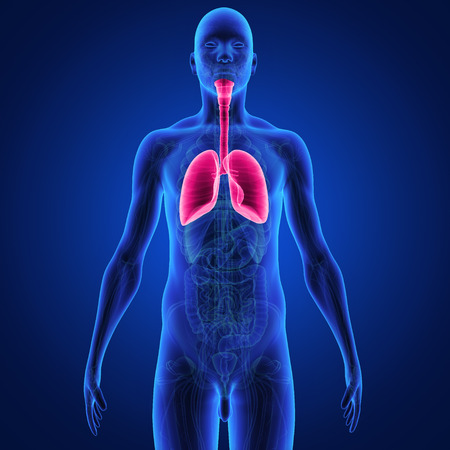 lung bronchus: lungs Stock Photo
