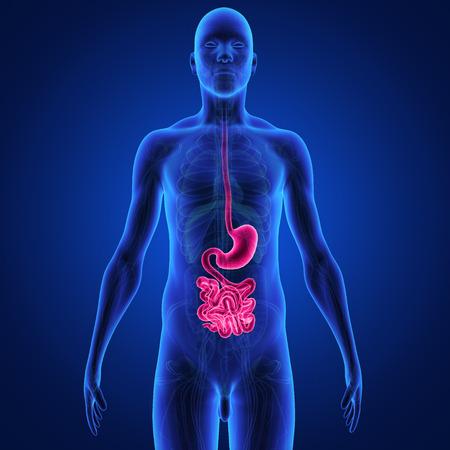 higado humano: del sistema digestivo