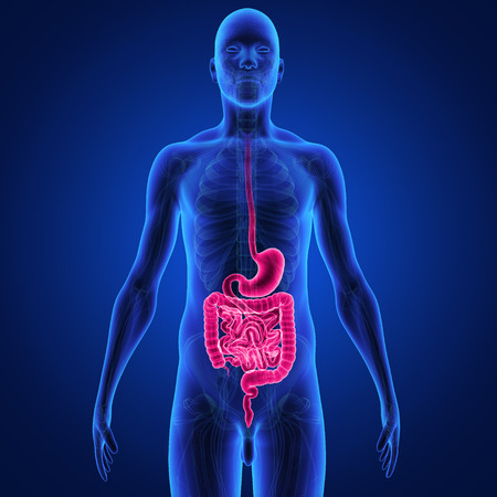 digest: digestive system