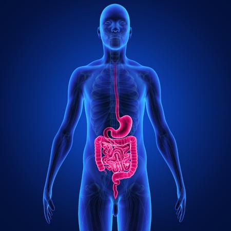 système digestif Banque d'images