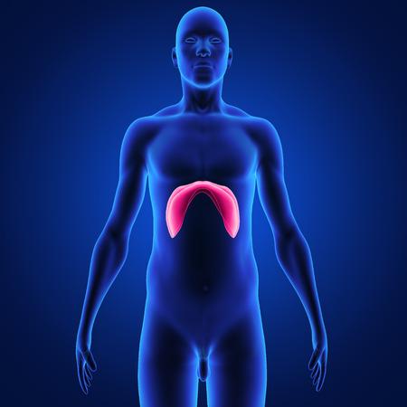 pleura: diaphragm Stock Photo