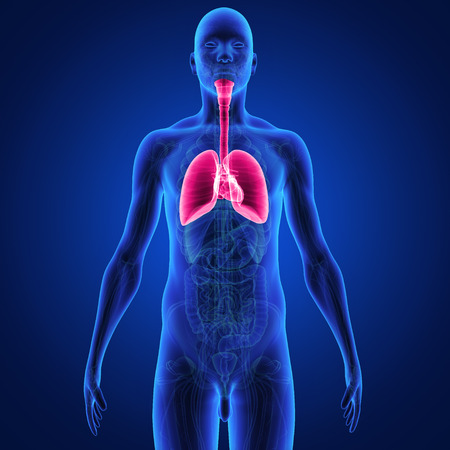 respiratory disease: lungs Stock Photo