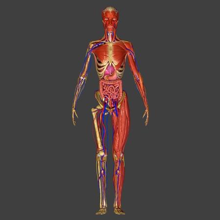Human Anatomy photo