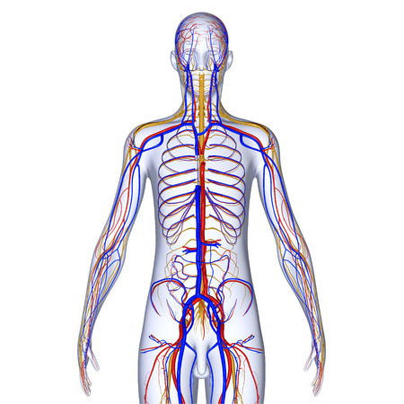 Arteries veins and nerves photo