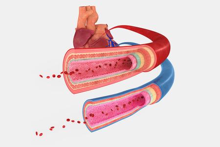 heart muscle cells: Blood vessels
