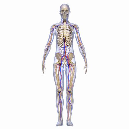 Human anatomy 写真素材