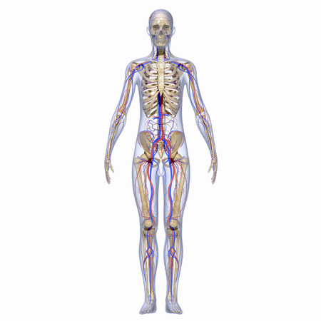 Human anatomy Stockfoto