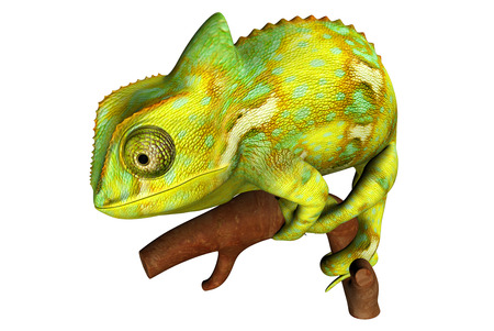 chamaeleo: Chameleon Stock Photo
