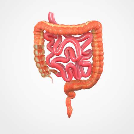 small intestine: large intestine