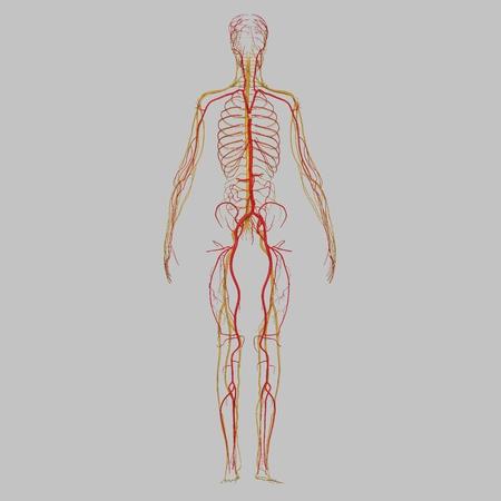 lymphatic vessel: Arteries