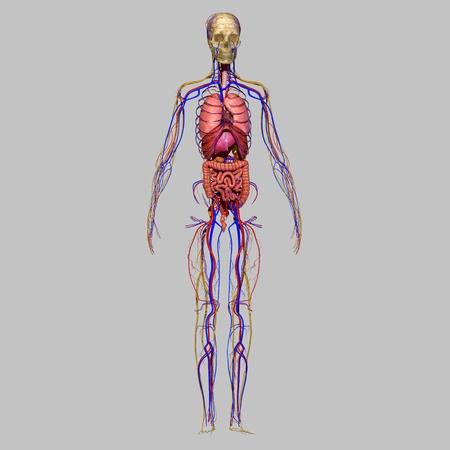 organos internos: Anatomía Humana