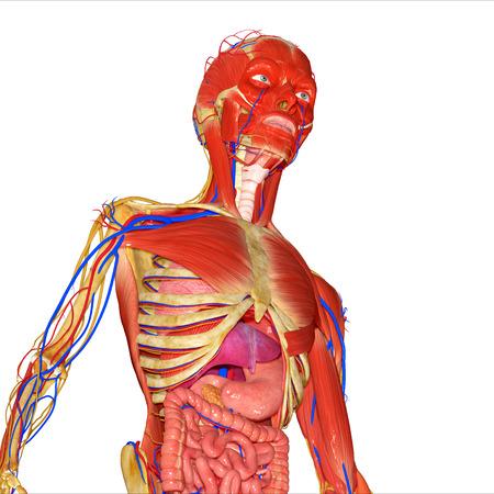 human anatomy: Human Anatomy