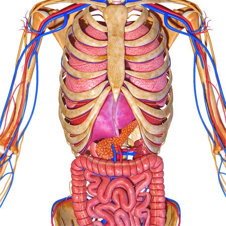 heart muscle cells: Human Anatomy