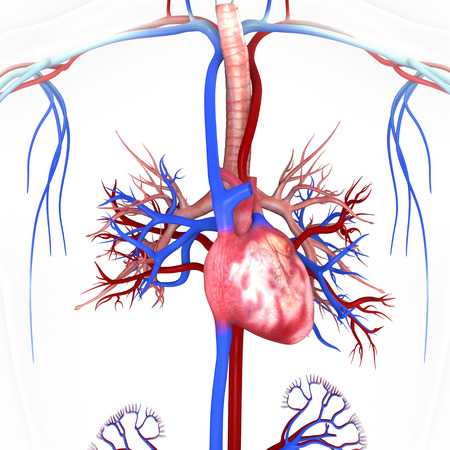 Heart with nervous system photo