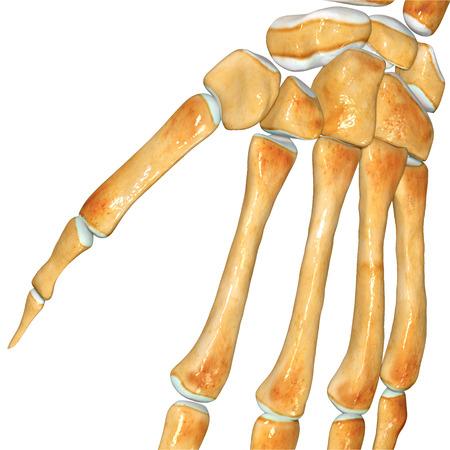 Skeleton Wrist photo