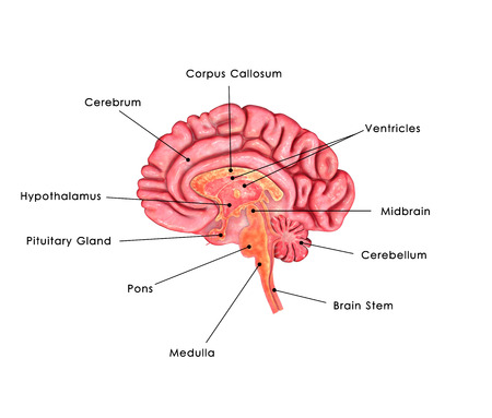ventricles: Brain Intersection Stock Photo