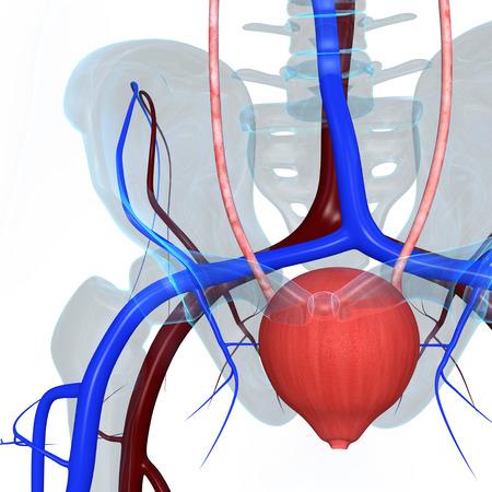 cervix: Bladder Stock Photo