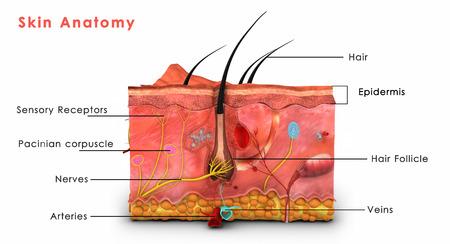estructura: Anatom�a de la piel Foto de archivo