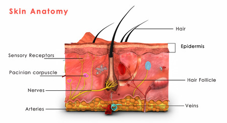 anatomy muscle: Skin Anatomy