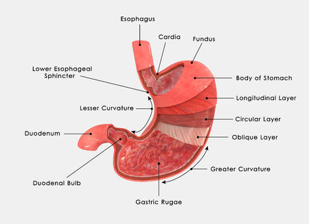 sphincter: Stomach layers labled Stock Photo
