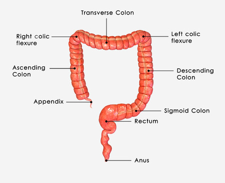 female large intestine: Large intestine