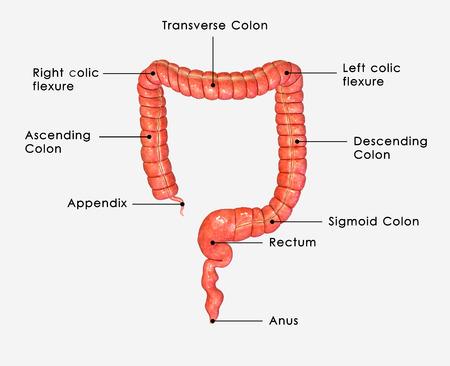 large intestine: Large intestine
