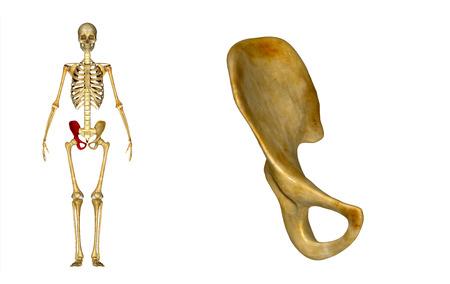 girdle: Pelvic hip girdle