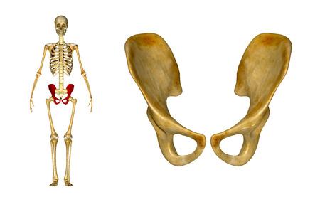 pelvic: Pelvic hip Stock Photo