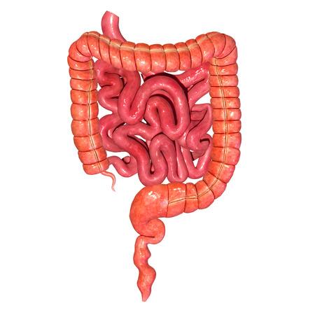 large bowel: Digestive system