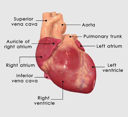 Human Heart Labelled photo