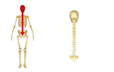 Back bone with skull and sacrum Stock Photo