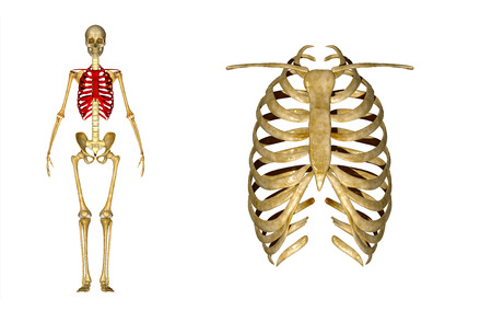 rib cage: Skeleton with ribcage