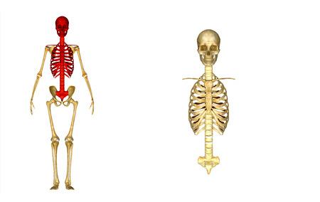 rib cage: Skull with rib cage