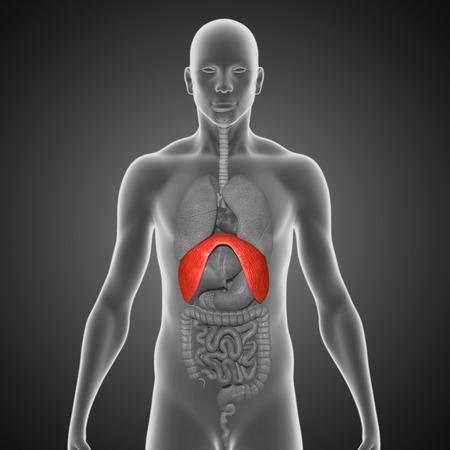 esophageal: Diaphragms Stock Photo