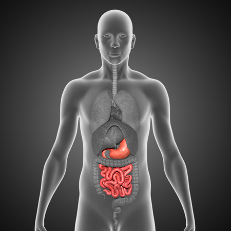 female large intestine: Stomach and small intestine