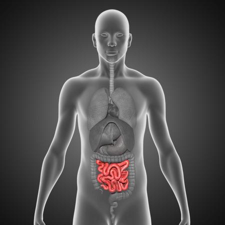 small intestine: Small intestine