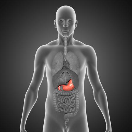 appendix ileum: Stomach Stock Photo