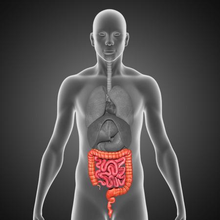 intestino grueso: Intestino delgado y grueso Foto de archivo