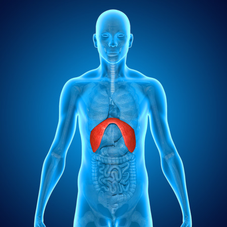 descending colon: Diaphragms Stock Photo