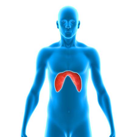 Diaphragms photo