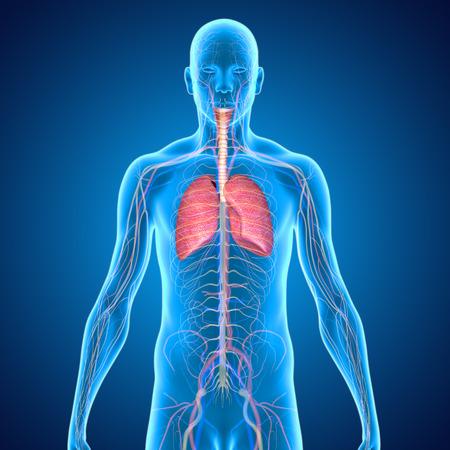 Lunge Standard-Bild - 33387882