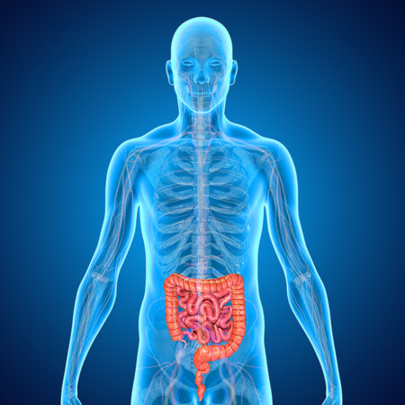 small intestine: Small and large intestine Stock Photo