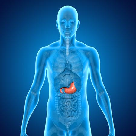 ileum: Stomach Stock Photo
