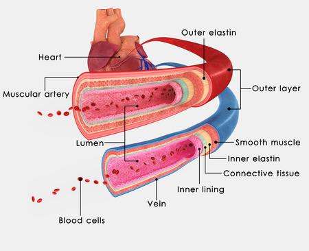 BLOOD VESSELS_Labels