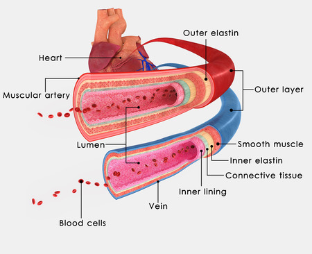 lymphatic vessel: BLOOD VESSELS_Labels