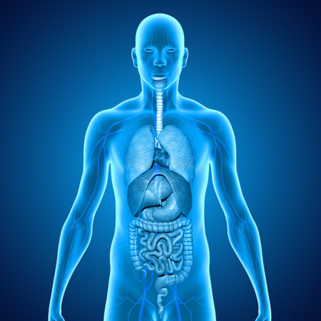 digestive system: organs Stock Photo