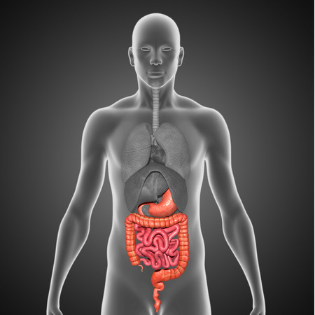 intestino grueso: Est�mago con el intestino delgado y grueso